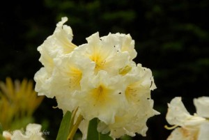 Rhododendron 'President Michael D. Higgins' bred at Mount Congreve Gardens by Michael White, Garden Curator
