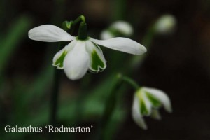 Snowdrops - Harbingers of Spring @ SMA Hall