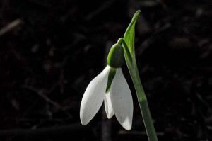 Galanthus 'Cicely Hall'  (5)