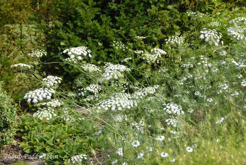 Ammi majus, a beautiful umbellifer which adds lightness to a border