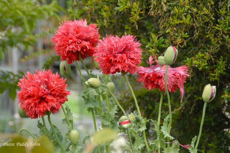 The annual opium poppies which are an delight in the garden.