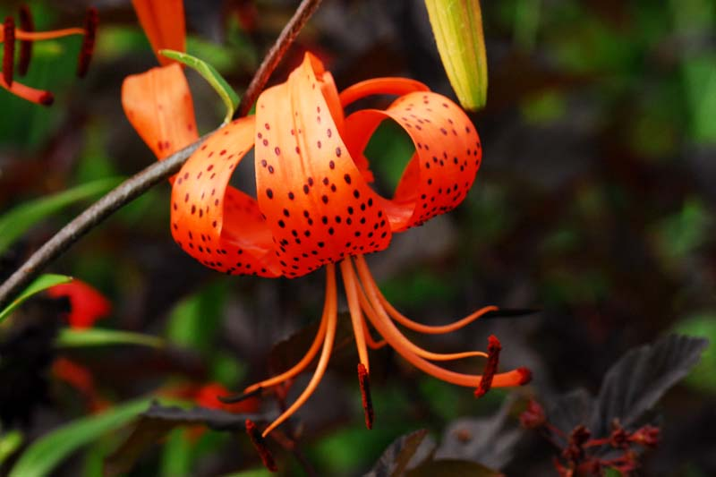 """Susan Band: """"Growing Lilies and Relatives in Scotland"""" @ National Botanic Gardens,"""