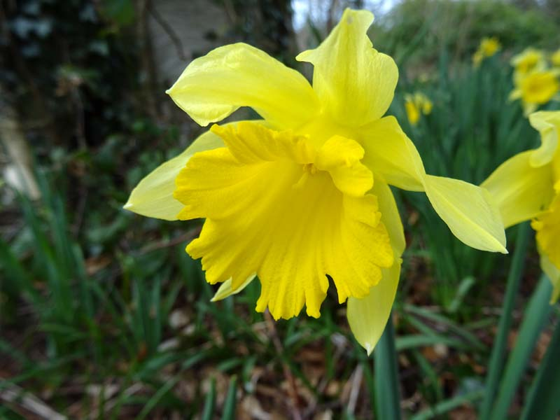 Narcissus 'Countess of Annesley' SMALL IMAGE