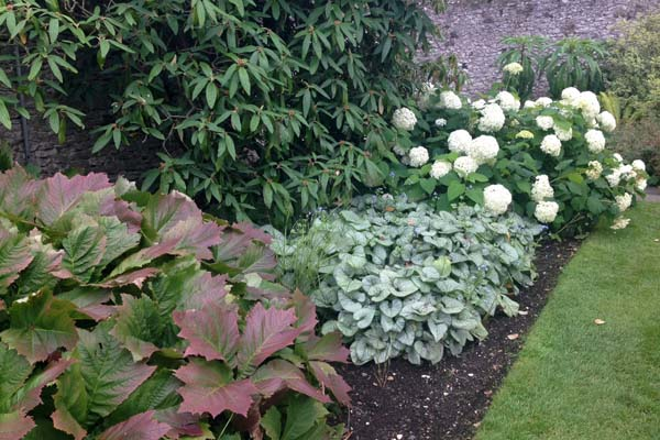 Large white flower heads of Hydrangea 'Annabelle'.  Barbara Kelso