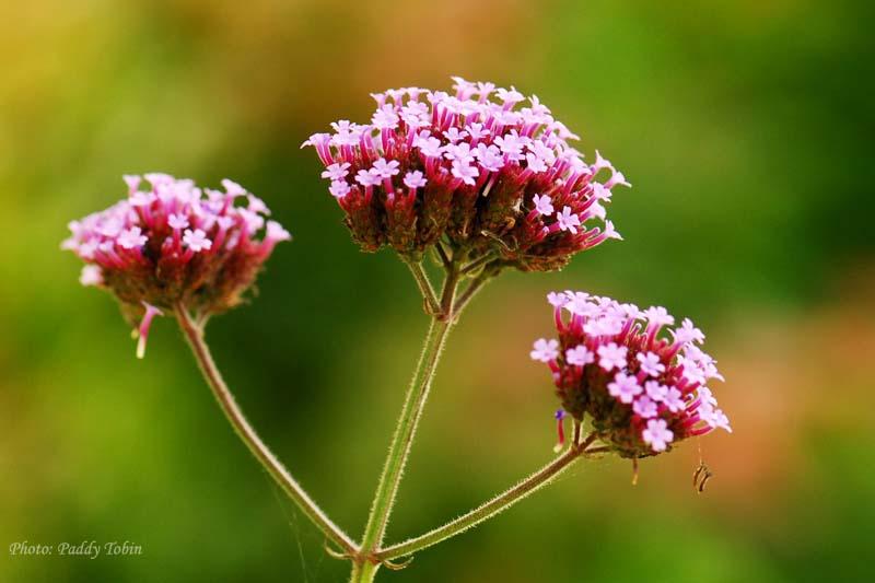 Verbena bonariensis, a very popular self-seeding plant in our gardens at present.