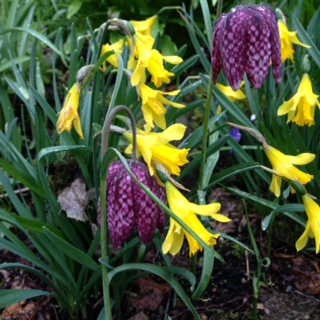 Narcissus minor with fritillaries