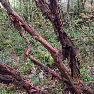Polylepsis australis, fabulously shaggy bark