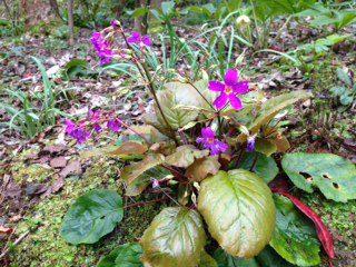 Primula megaesifolia