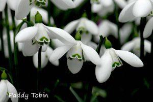 Paddy Tobin: A Snowdrop Garden @ Zoom