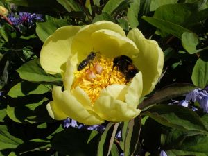 Pollinators in Your Garden - with Mary Montaut @ Zoom